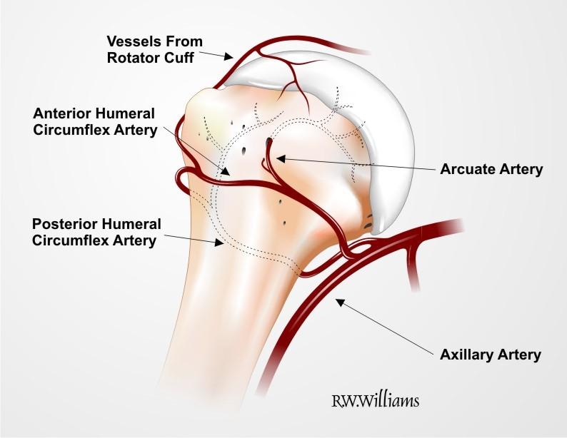 Humeral Head Blood Supplyg Rwwilliams Medical Illustrations