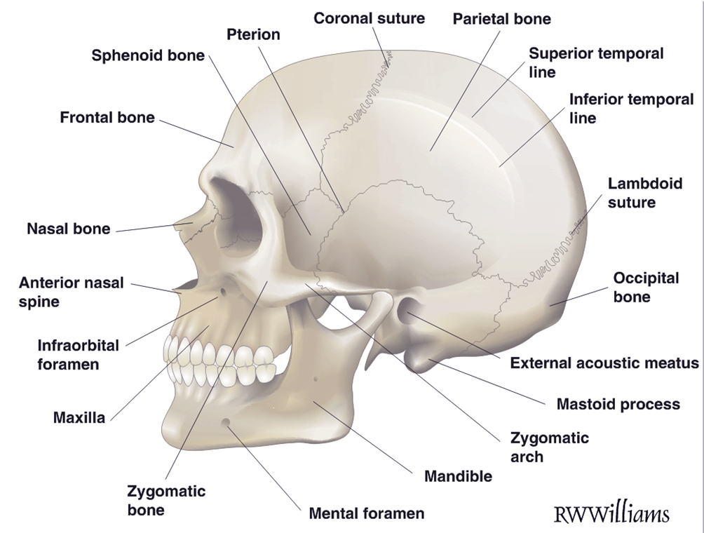 Anatomical Features Of The Skull Rwwilliams Medical